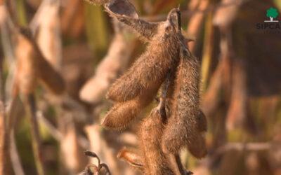 La raccolta della soia